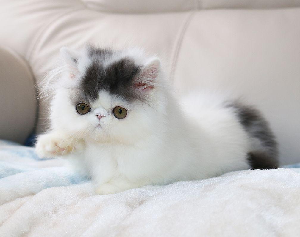 Alfenloch Persian Kittens Ontario Canada And Himalayan Kittens Ontario Canada 2018 Chocolate Kittens Bi Colors Persian Kittens Himalayan Kitten Kittens