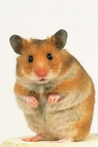 Little Hamster Susse Hamster Tierbuch Kleine Tiere