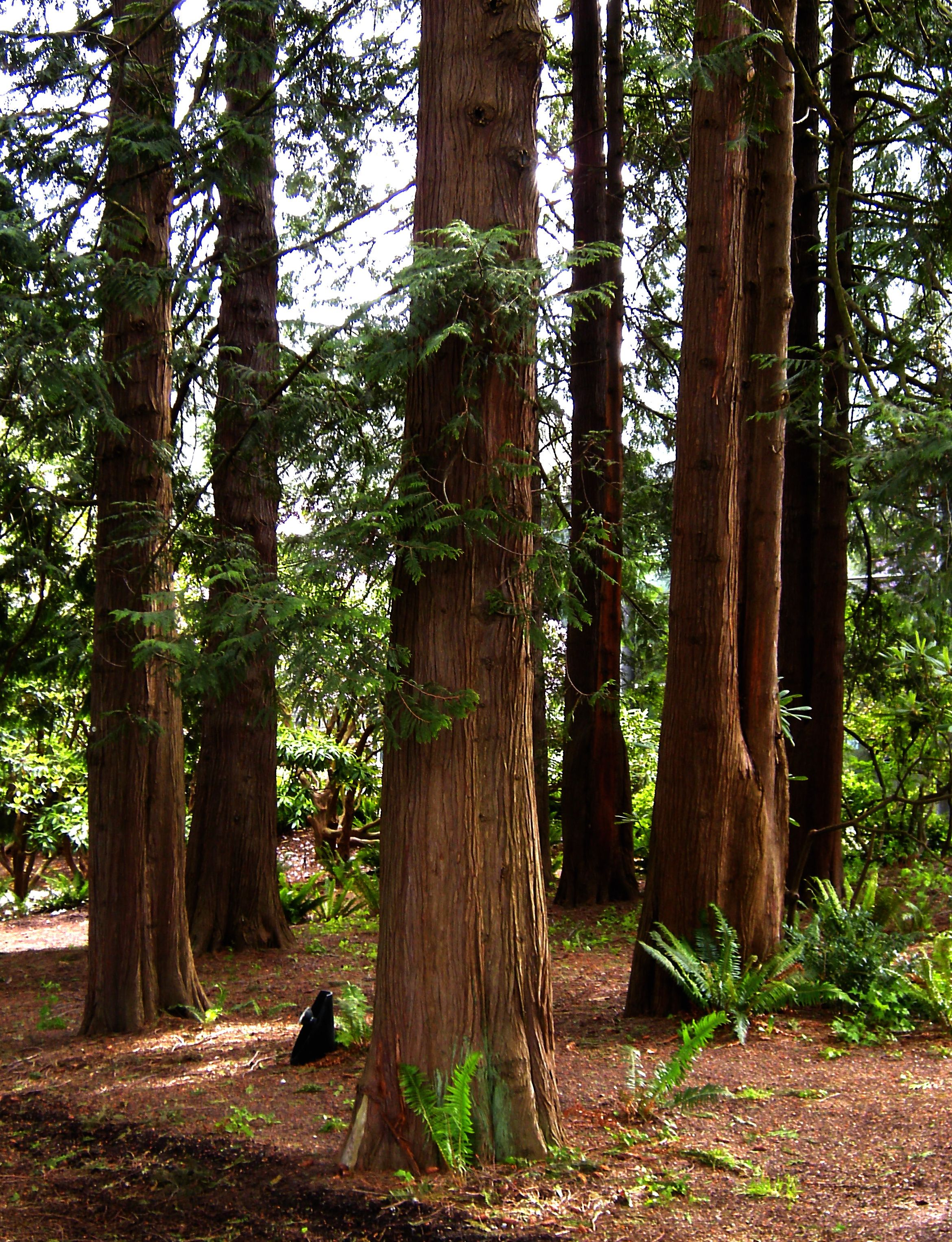 Pictures of cedar trees - Red Cedar Tree Google Search