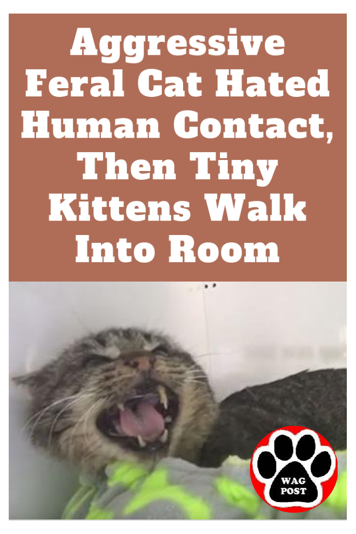 Aggressive Feral Cat Hated Human Contact Then Tiny Kittens Walk Into Room In 2020 Feral Cats Kittens Tiny Kitten
