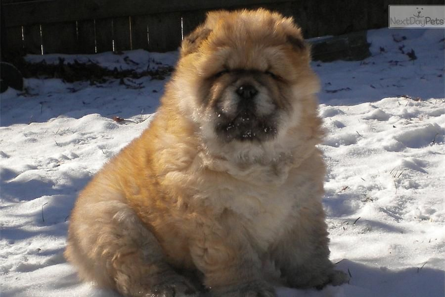 blue chow chow puppies | AKC Champion Bloodlines Litter due 3-8-2014 | Black, Blue, Red Female ...