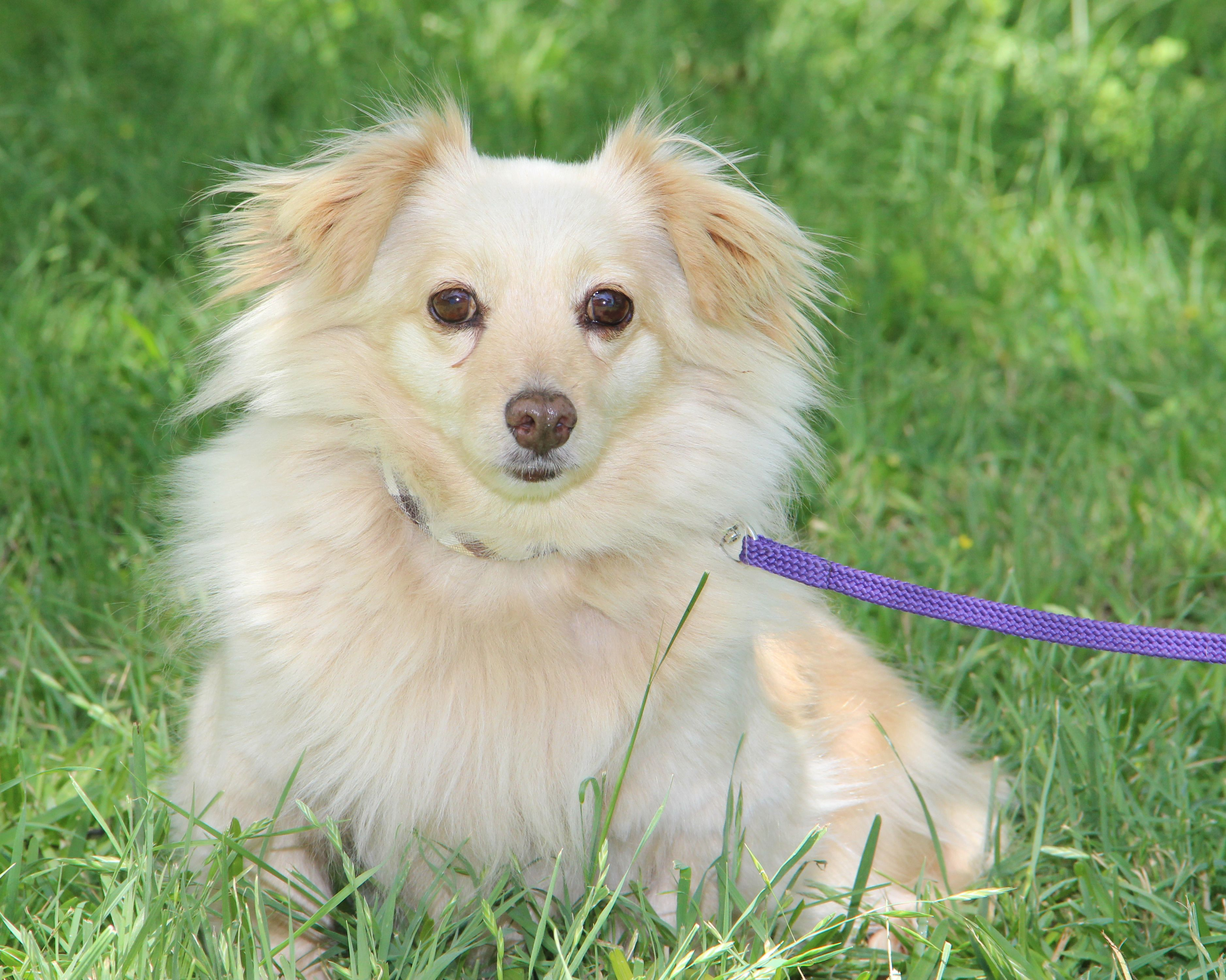 Dameranian Dog For Adoption In Helotes Tx Adn 546440 On