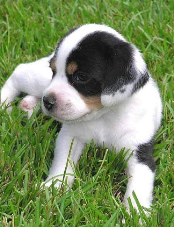 Beagle Lab Mix Puppies Sale Zoe Fans Blog Beagle Lab Mixes Puppies Cute Dogs