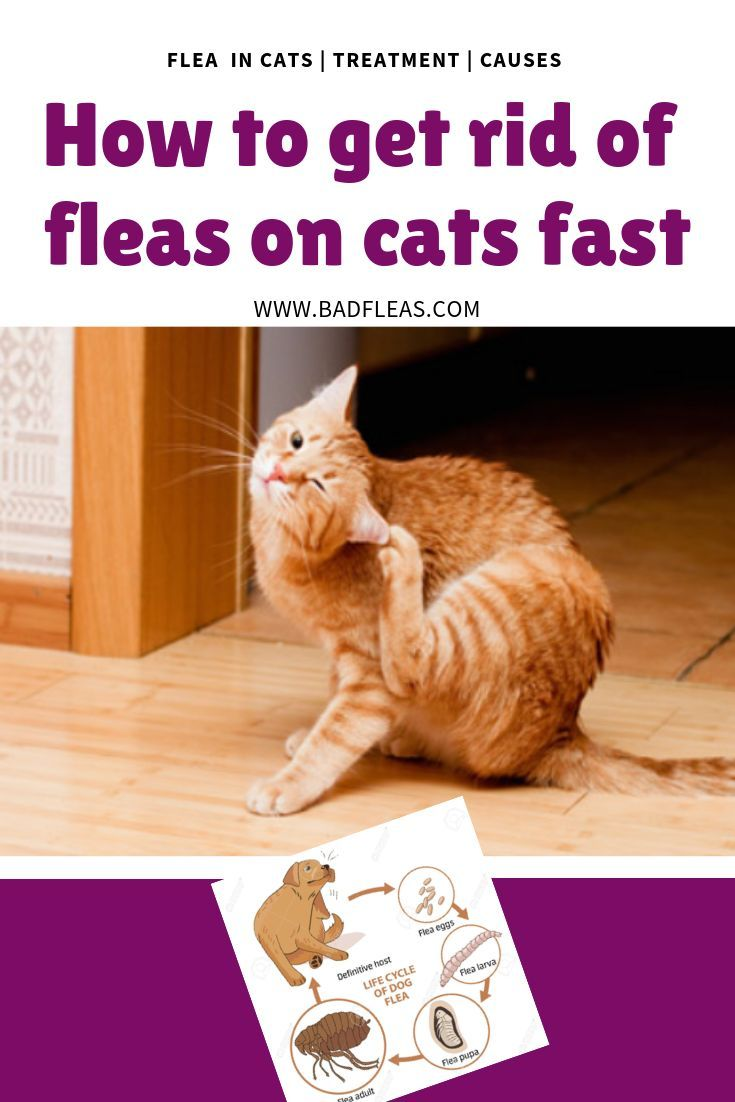 How to get rid of fleas on cats fast Fleas on kittens