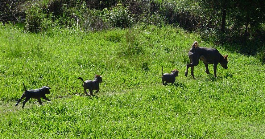 Ixtli con sus cachorros, un hembra y dos machos.