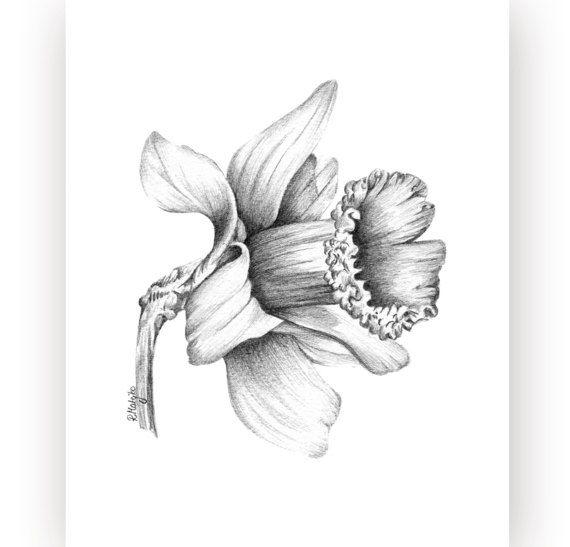 Daffodil Flower Original Pencil Drawing Narcissus Fine Art