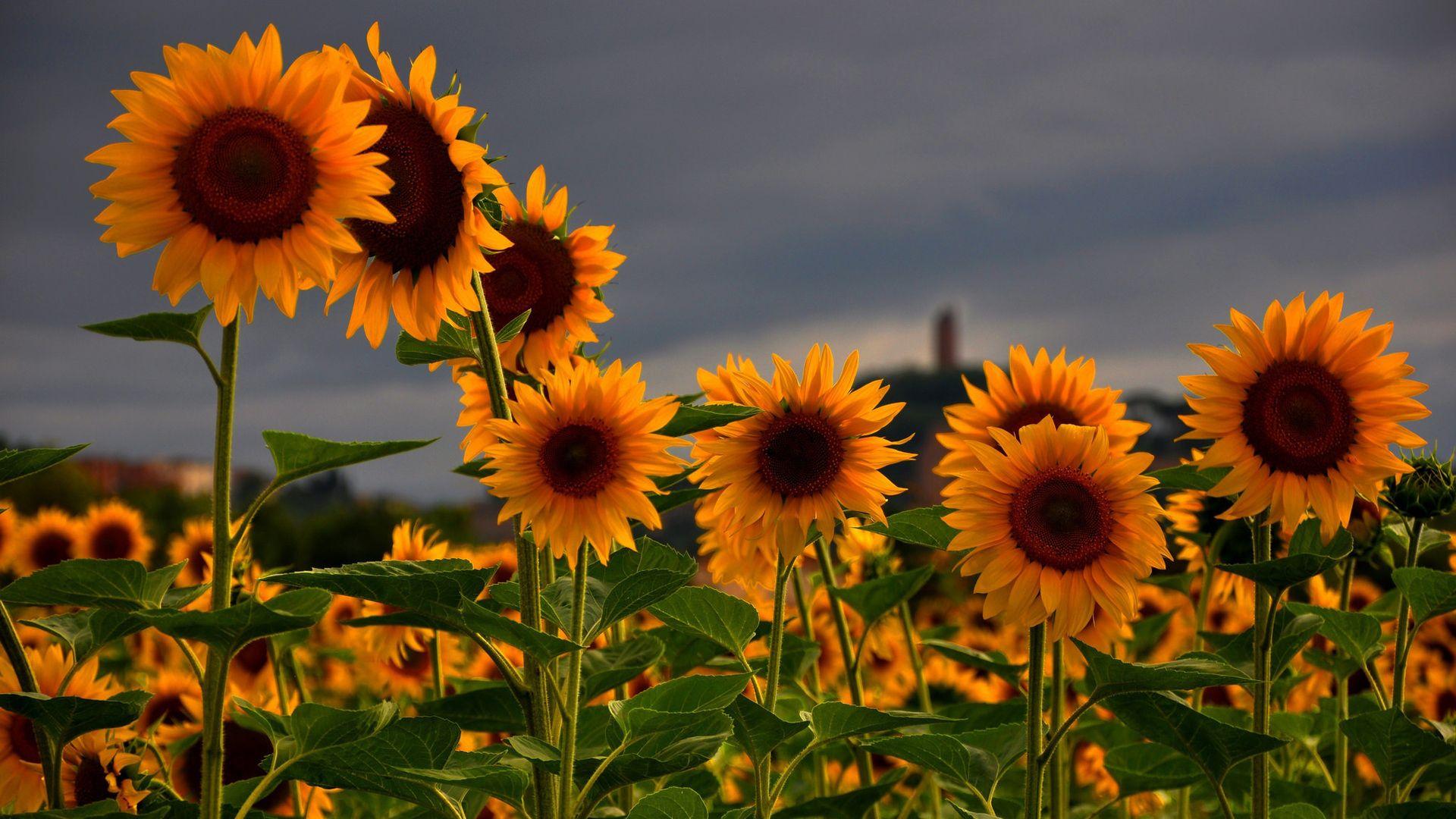 Sunflowers Wallpaper Sunflower Wallpaper Field Wallpaper Sunflower Fields