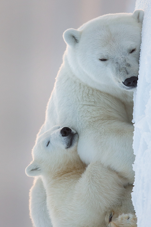 Polar Bear Someday My Family And I Are Going To Alaska To Hunt Polar Bear My Boys Are Already Planning For This Me And The G Animals Polar Bear Baby Animals