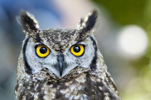 Pin by Flávio Barcella on uiltjes | Owl, Animals, Fauna