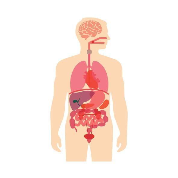 Organos Internos Del Cuerpo Humano Lista Completa Cuerpo