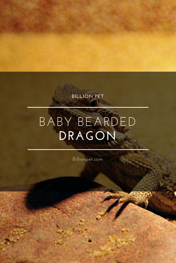 Baby Bearded Dragon Your Easy Guide Bearded Dragon Baby