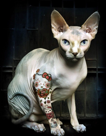 Sphynx Cat Price Adopting You Should Know Petco Near Me In 2020 Hairless Cat Sphynx Cat Oriental Shorthair Cats