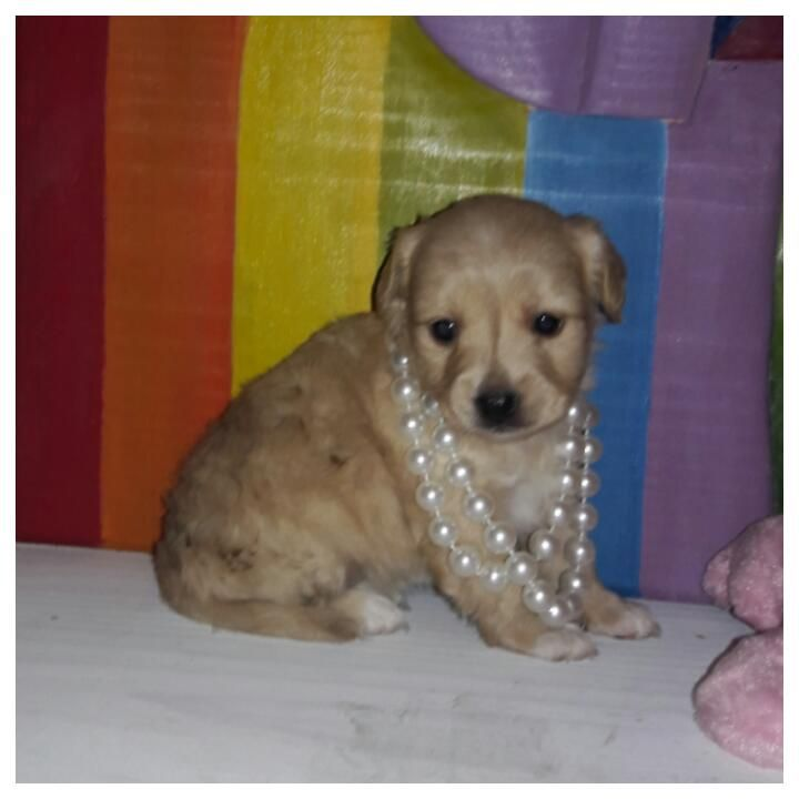 Maltipoo puppy for sale in TAYLOR, TX. ADN26181 on