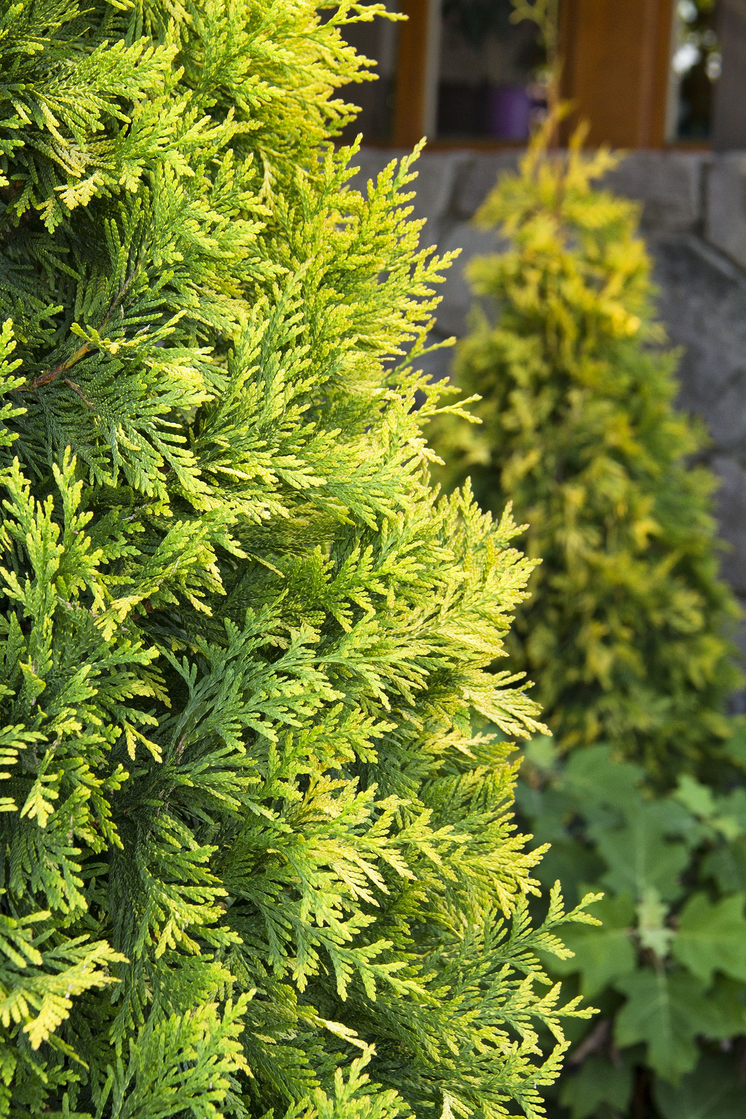 Golden Feather Arborvitae Large Tall Evergreen Upright Shrub With Golden Yellow Foliage Provides Multi Seas Shrubs For Privacy Arborvitae Evergreen Shrubs