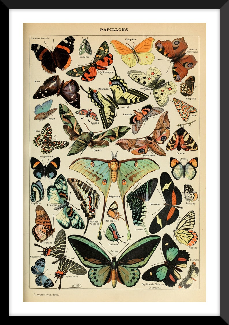 Butterfly Print   Educational Butterfly Print   Bo