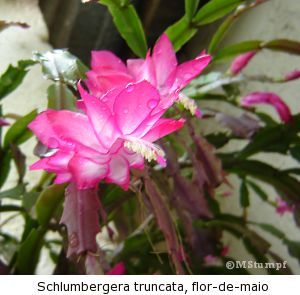 Cacto flor de maio schlumbergera truncata - Como transplantar cactus ...