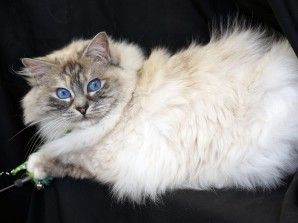 Available Kittens Spring Vale Dolls Cute Animals Ragdoll Kitten Cats And Kittens