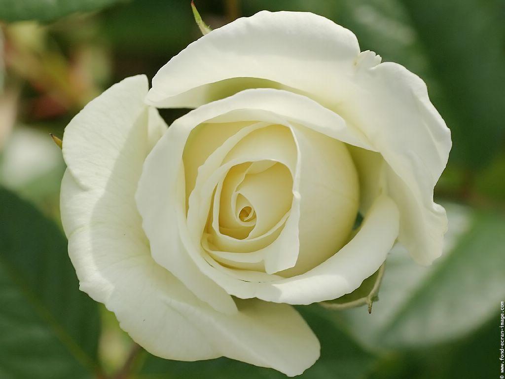 Photo Rose Blanche Colombe 03 Fleurs Plantes Fleurs Rose Et