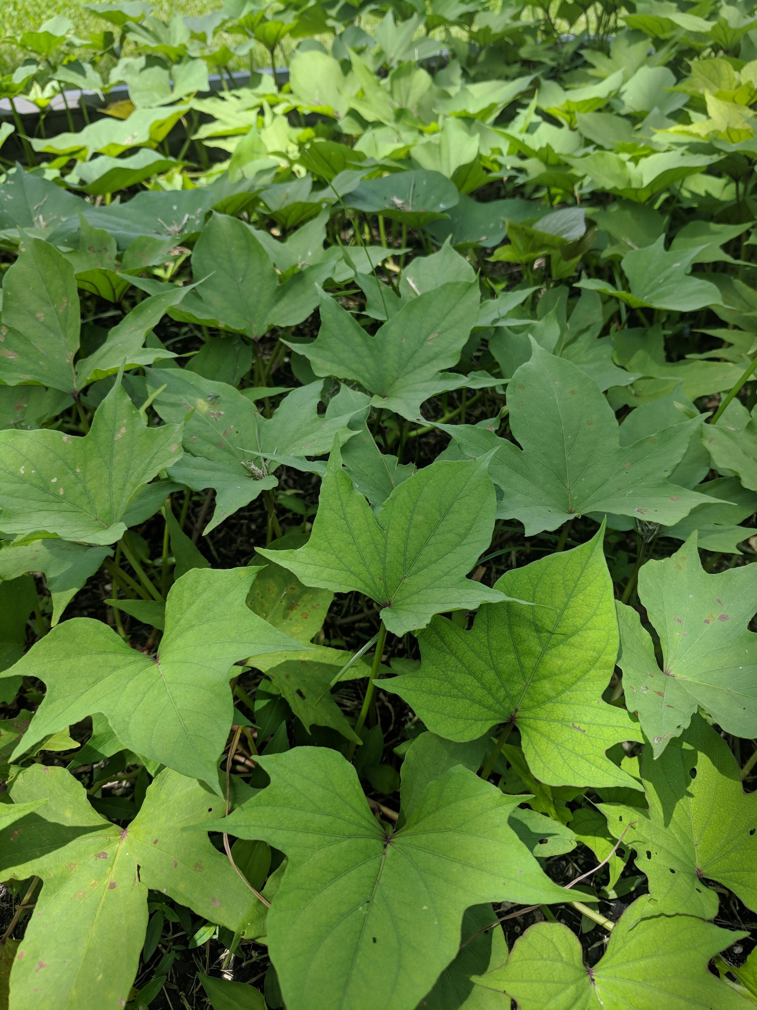 Jersey Yellow Sweet Potatoes Growing Nicely Zone 10a Gardening