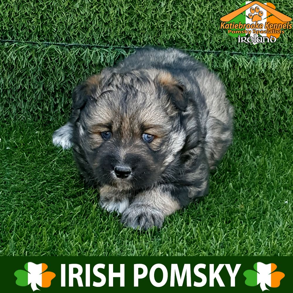 Katiebrooke Kennels Pomsky Specialists Ireland Price 2500 F2 Pomsky Puppy Lector Blue Eyes X Male X Very Unusu Pomsky Puppies Pomsky Pomsky Puppies For Sale
