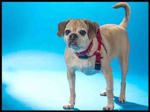 NAME Preston. BREED Puggle. LOCATED Maryland Heights