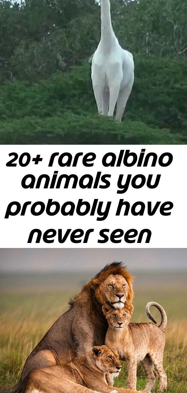20 rare albino animals you probably have never seen before 3 20 Rare Albino Animals You Probably Have Never Seen Before THE BEST OF MAASAI MARA WILDBEEST MIGRATION ACTION
