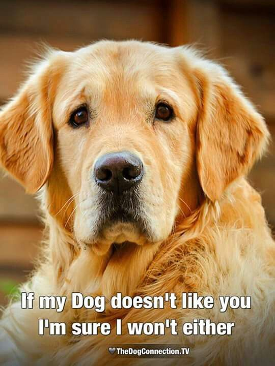 Exactly Dogs Golden Retriever Golden Retriever Golden