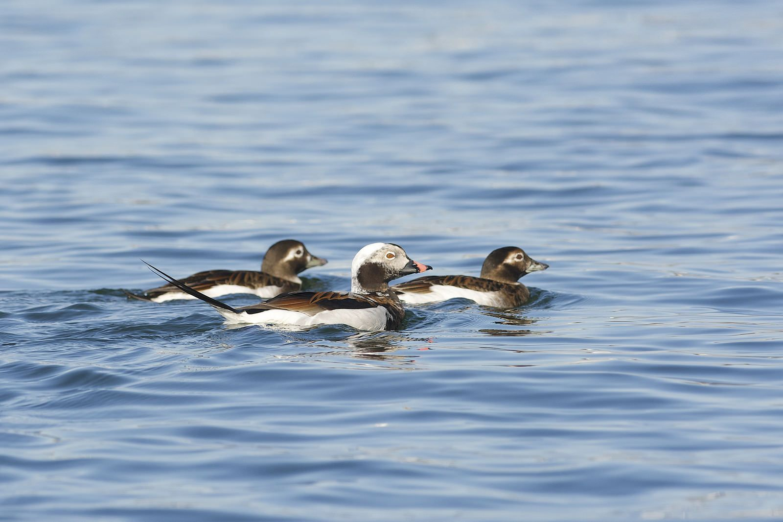 Long-tailed Duck (Clangula hyemalis), Long Island Sound, Connecticut   by Daniel J. Field