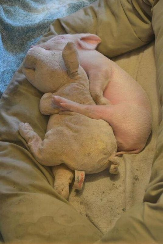 Little Pig Napping with Its Stuffed Lookalike:)