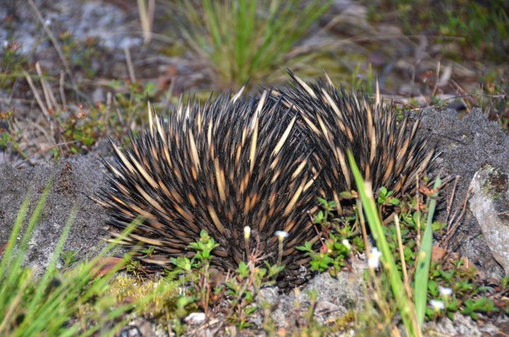 An Echidna, spotted at Salt Ash, Port Stephens. This one was creating it's burrow at dusk. #echidna #portstephens
