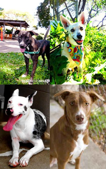 The Hawaiian Humane Society's dog kennels are at critical