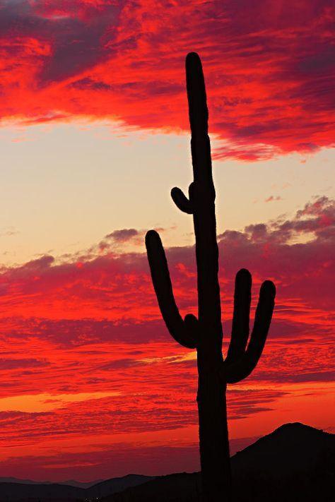 Giant Saguaro Southwest Desert Sunset Photograph by James BO Insogna