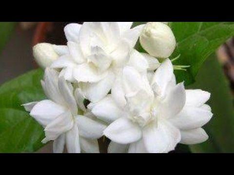 Growing Jasmine Jasminum Sambac Youtube Jasmine Plant Fragrant Flowers Jasmine Flower