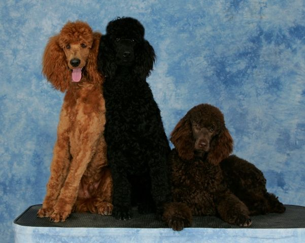 I Love The Black And Chocolate Coloring Poodle Puppies For Sale