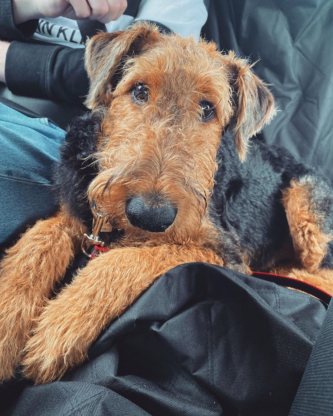 Home dog grooming tips airedale airedalesofinstagram