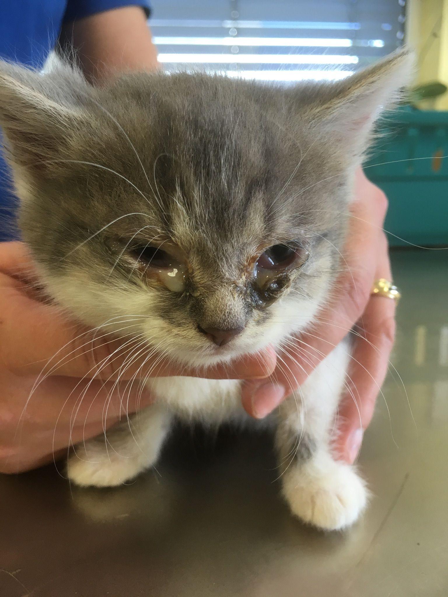 Im Gegensatz Zum Schnupfen Bei Menschen Ist Der Katzenschnupfen Recht Gefahrlich Und Kann Sogar Todlich Verlaufen In 2020 Katzenkrankheiten Katzen Krankheit