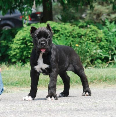Cane Corso Pup Cane Corso Corso Dog Cane Corso Dog