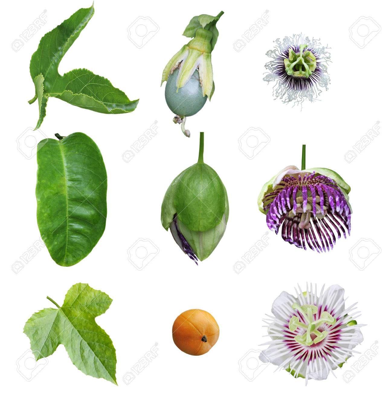 Pin van Michelle H. op Passiflora