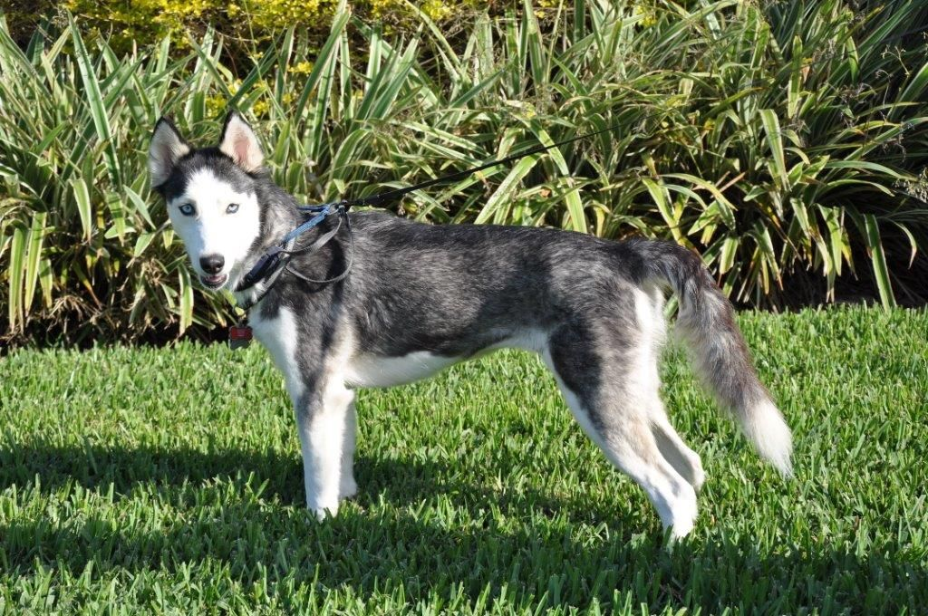 Pin by Florida Siberian Husky Rescue Inc on Happy Tails