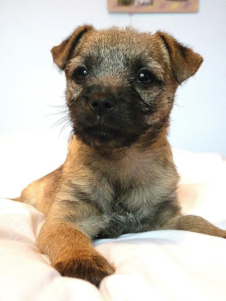 border terrier cross lakeland terrier puppies Lakeland