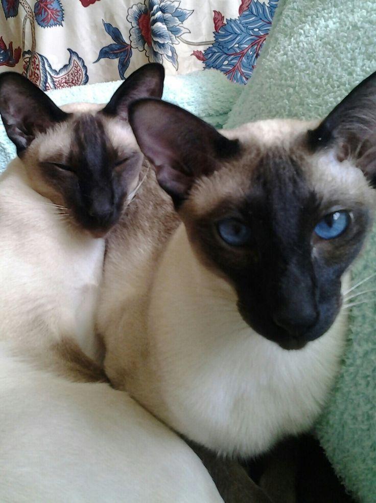 Siamese Cat Catssky Http Represent Com Kittenshirt Siamese Cats Cats And Kittens Siamese Kittens
