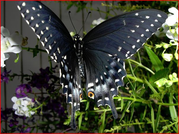 Butterfly in garden minutes after exiting cocoon.