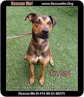 Tampa Fl Doberman Pinscher Hound Unknown Type Mix Meet Titan