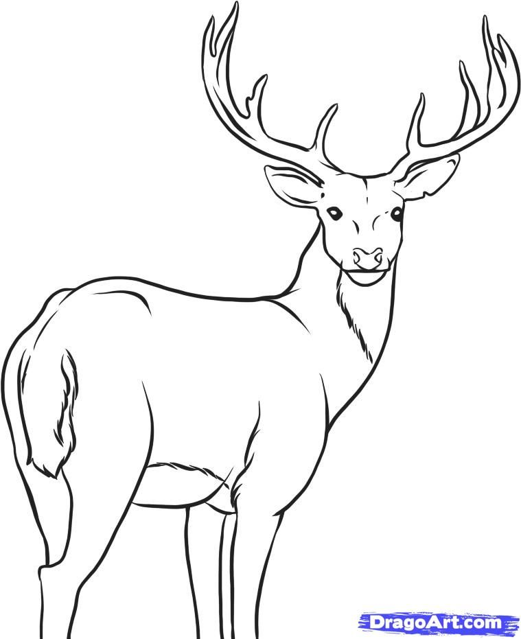 How To Draw A Deer By Dawn Deer Drawing Deer Coloring Pages