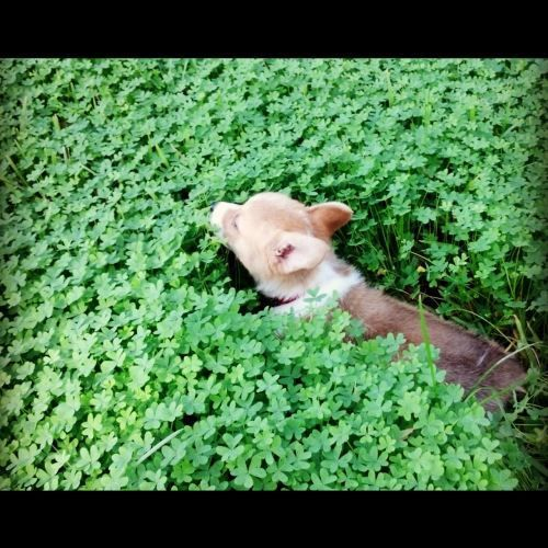 Corgi pup in a field of luck