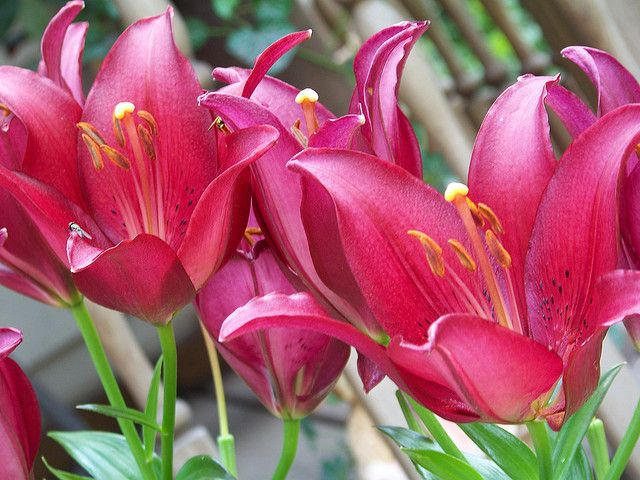 Lily Symbolism Greek Lore Associates Lily Meaning With Birth And It