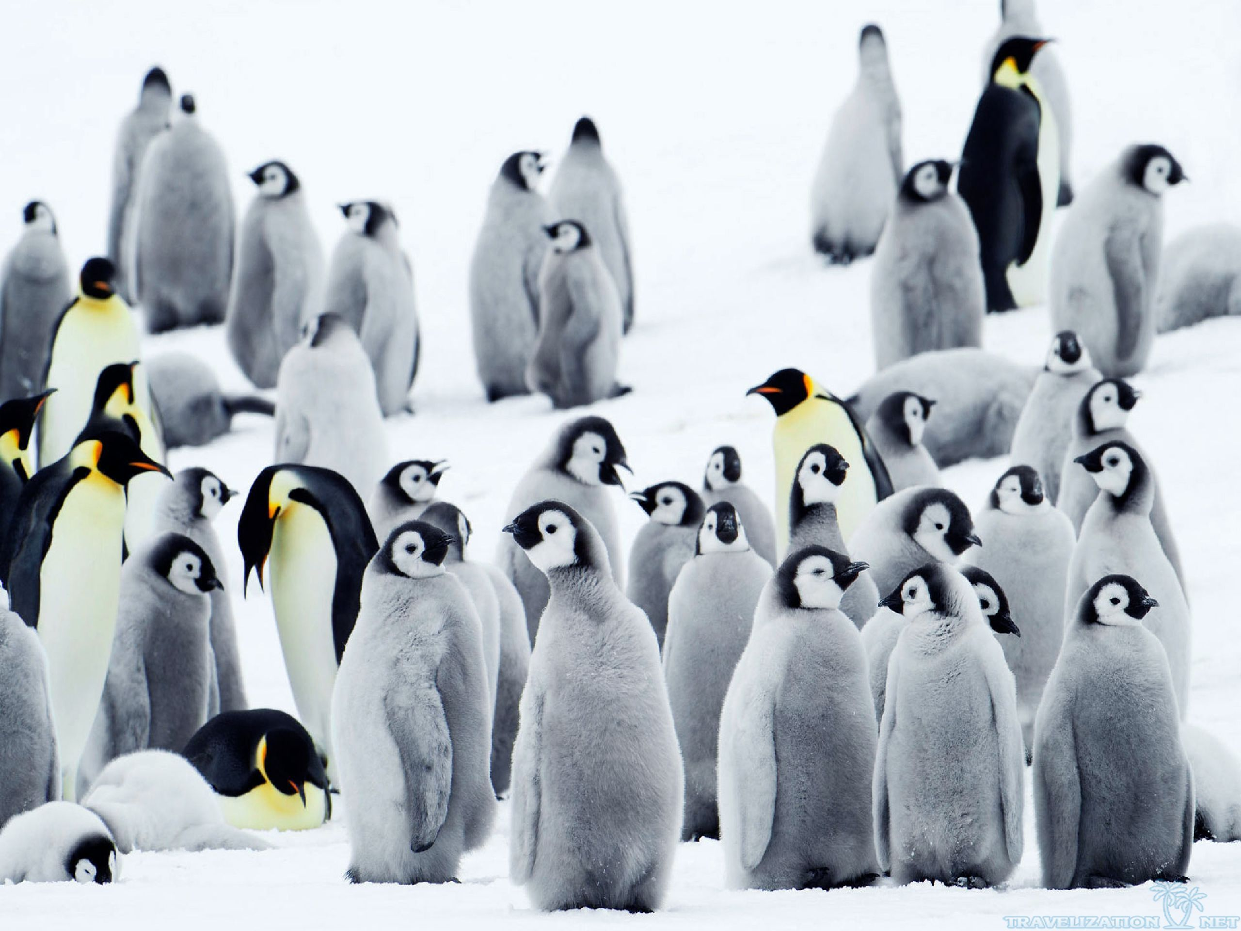 Cute penguins cute mighty pictures - Free Penguin Wallpaper X