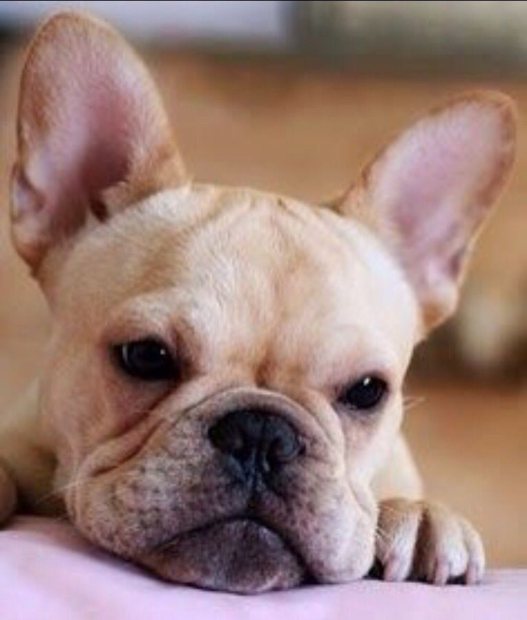 French Bulldog With Images French Bulldog