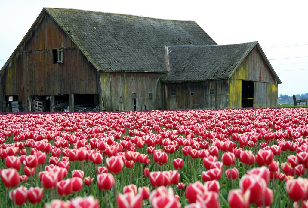 an old barn amidst a tulip field. lovely!
