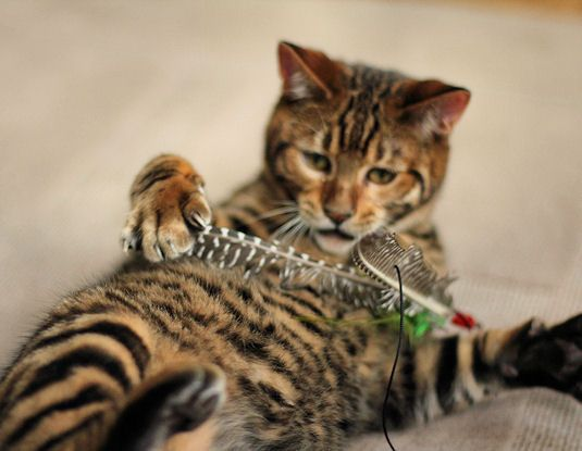 Queenanne Cats planned breedings for Bengals